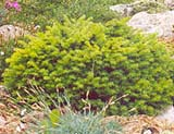 Picea abies _Little Gem_