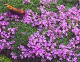 Thymus praecox _Minor_