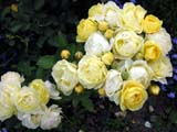 Golden Border® (Havobog_Comtesse Du Barry)