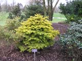Abies nordmanianna Golden Spreader