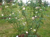 Rose Borboniana_1817 год